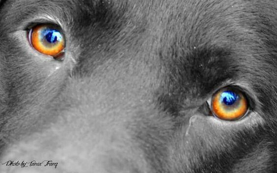 Die Augen sind das Tor zur Seele  Labrador Retriever Mila