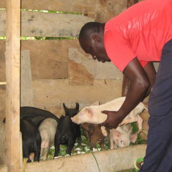 It took a little while to get things together since UK donors kindly raised the money for us to buy some pigs – but now they have arrived and have moved into their new pig house! And so Child of Hope's launch into pig farming begins!