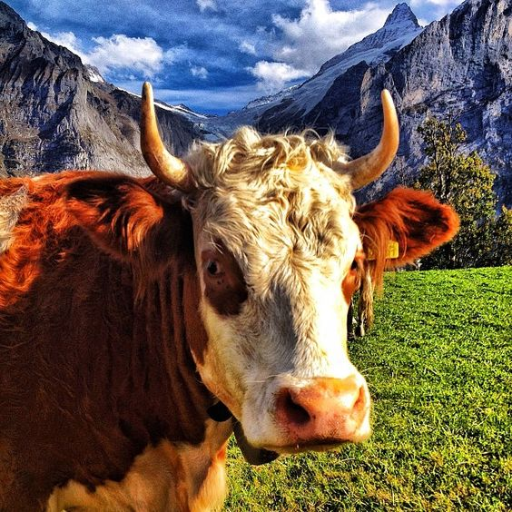 I love this cow. #Switzerland #expediaatatws