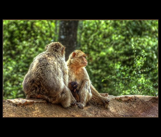 """Another from my great visit in the maqaque monkey parc """"La Foret Des Singes"""" in Rocamadour.    This was the lovely couple who had the most attention of the visitors, during a sweet family moment. The father is chilling in the summer sun, while the moth . Remembering the Reason for the Hope that is Within... #family first!"""