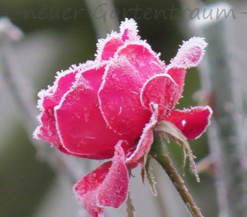 Rose im Frost