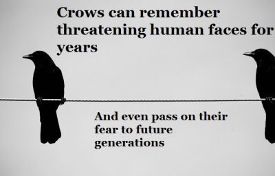 The University of Washington did a set of experiments to test the memory of local crow flocks. Researchers wore rubber masks (one of Dick Cheney) while capturing birds with a net launcher. For 3 years, the crows remembered the masked faces & alerted others of their presence. The birds took defensive measures as well by diving at the researchers. Future generations of birds who had never seen the masks reacted in the same manner…