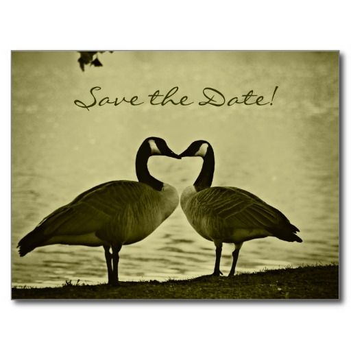 Canadian Geese Photo Postcards