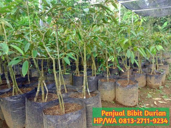 0813 2711 9234 Paling Dicari Jual Bibit Durian Ke Toli Toli Sulawesi Tengah In 2020 Durian Plants Simpang