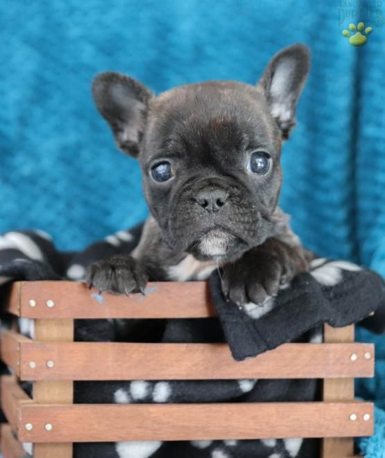 Frenchbulldogs Frenchie Frenchbulldogpuppy Frenchbulldogpictures Charming Puppiesofpinterest Pi French Bulldog Bulldog Puppies Bulldog Puppies For Sale