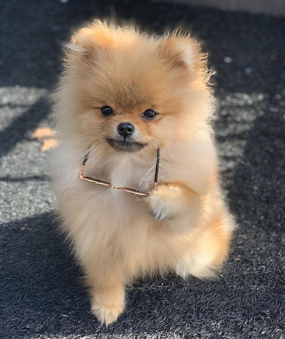 Pomeranian Puppies Cute Pictures And Facts Cute Fluffy Dogs Cute Puppies Cute Baby Dogs