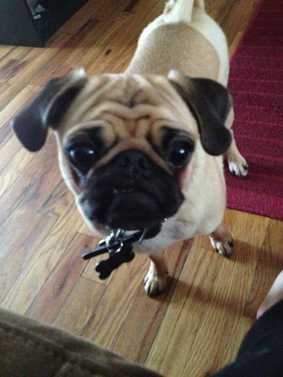 My Pug Benji! ❤❤