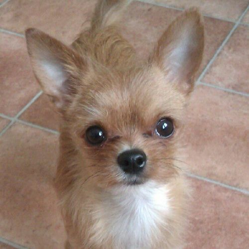 How Can You Resist Those Pretty Eyes Chorkie Dog Pet Dogs