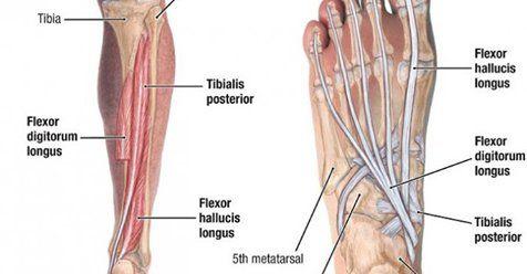 Flexor Digitorum Longus Origin Insertion Action Nerve Supply How To Relief In 2020 Leg Muscles The Originals Relief