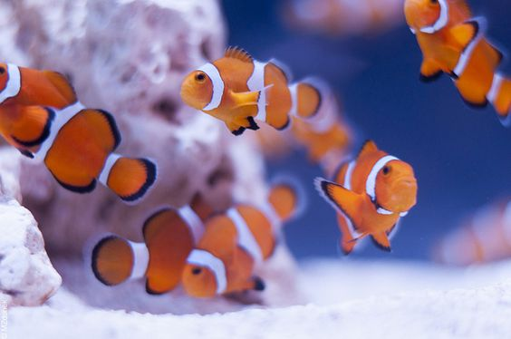 Clownfish II