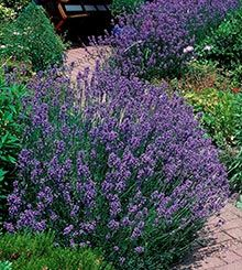 A Fragrant and Tough Blooming Plant - Phenomenal™ Lavender is tough, and can survive in conditions that other lavender plants can't. Extreme heat and cold pose no threats!  They even grow extremely well in containers and can be placed on your porch or patio. Their purple blooms and compact size makes them the perfect...