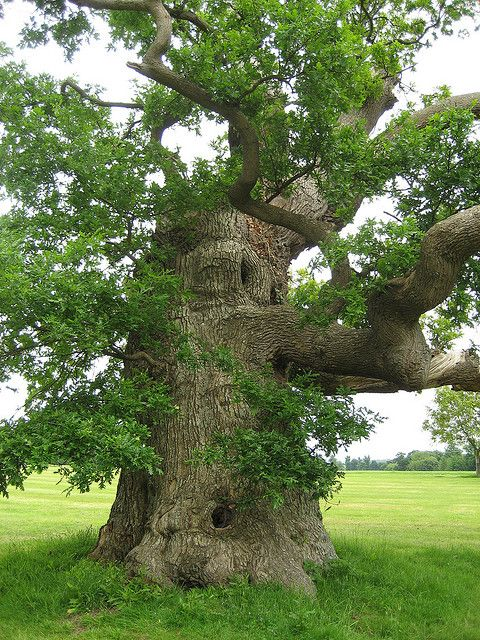 ancient oak at Blenheim Palace (GB) planted by Capability Brown. I would love to climb it!: