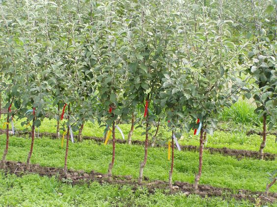 A healthy line of beautiful fruit trees at our Vancouver, WA farm