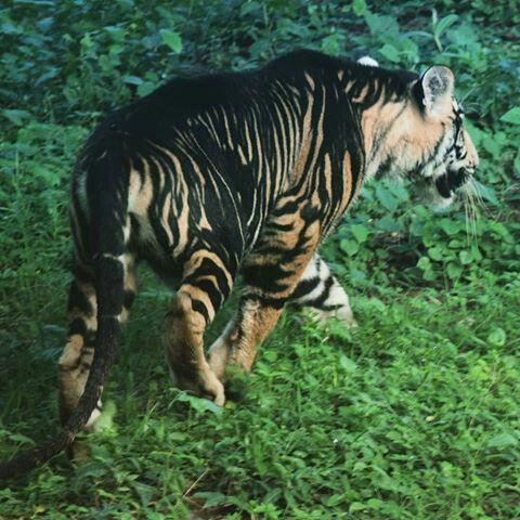 Bengal Tiger Pseudo Melanistic