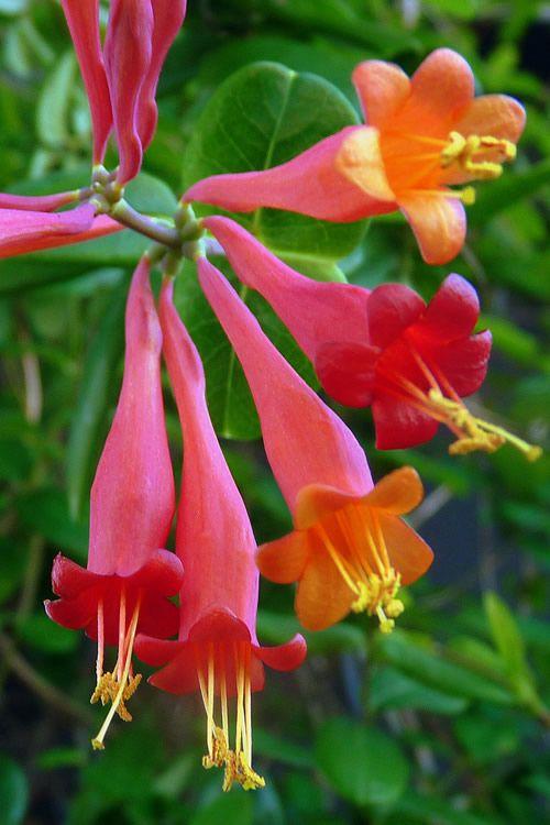 Trumpet Honeysuckle Campsis Radicans Trumpet Creeper Trumpet Vine Plants Flowers 99roots Com Klimplanten Tuinplanten Bloeiende Planten
