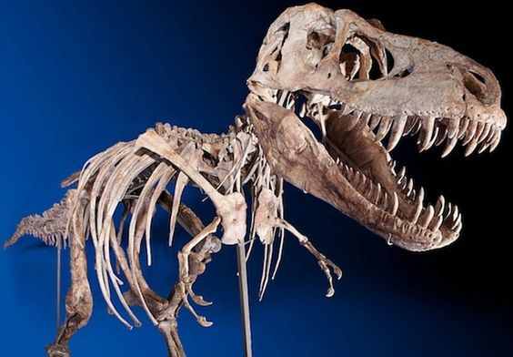 The amazingly complete skeleton of Tyrannosaurus bataar, a cousin of T-rex which lived around 80million years ago - for sale at auction in New York!