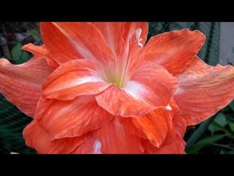153 अम र स ल ल स गल व डबल लग न क प र ज नक र Amaryllis Lily Single Double Care Youtube In 2020 Amaryllis Lily Flowers