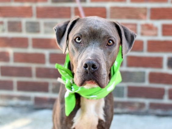 HULA - A1088539 - - Brooklyn  Please Share:TO BE DESTROYED 09/14/16 **ON PUBLIC LIST**   This amazingly handsome grey and white pittie boy entered the shelter as a stray with Lows a mere week ago. He is skinny and could use a few things right about now. A good meal, some TLC and most of all a HOME. Hula is on the Public List and can be adopted directly via the NYC ACC. He is only years old and clearly his first three years have completely sucked. His Urgent Family can help