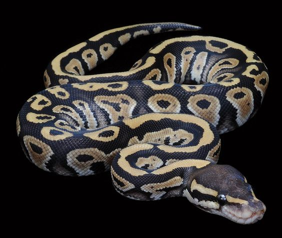 I have a baby Ball Python named Milo. My mom is terrified ...