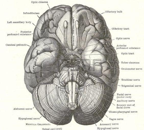 Dissezione del cervello umano - base del cervello e dei nervi cranici, da un manuale di anatomia 20esimo secolo, protetto da copyright Archi...