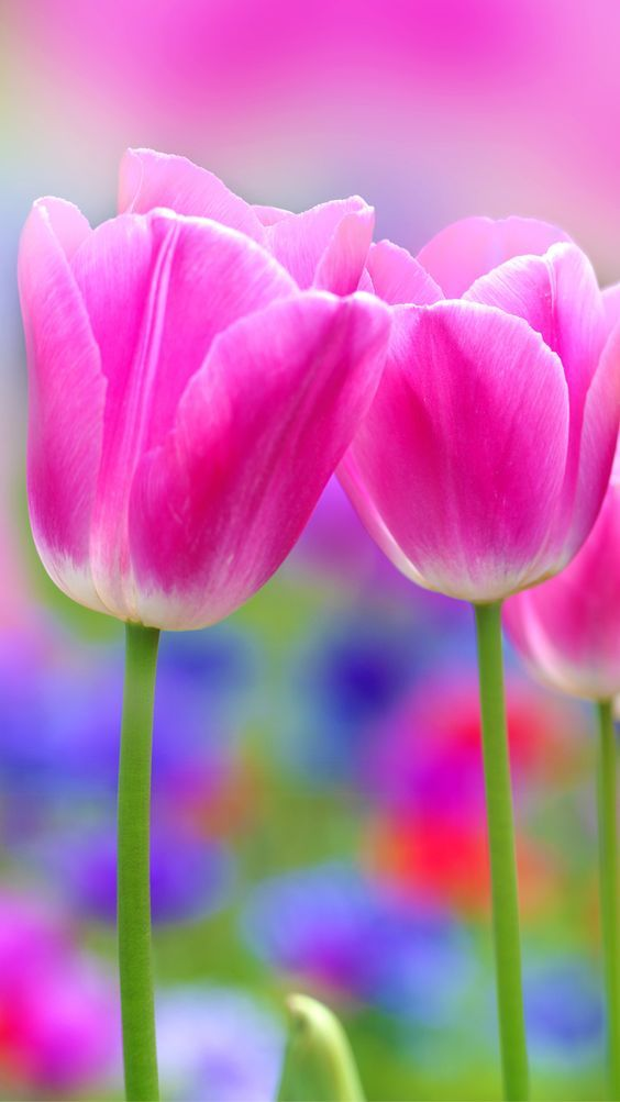 Pin By Koras Tberdia On Flower Tulip Flower Pictures Tulips