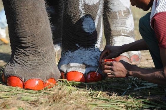 Pedicure by Prakesh Mathema: Elephant Beauty Pageant in Chitwan, Nepal #Elephant #Nepal #Prakesh_Mathem