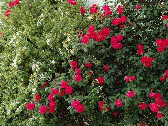 Selecting Roses For Hedges: How To Grow Hedge Roses