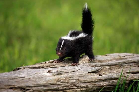 Tiny skunk - Getty