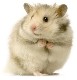 Hamsters are solitary animals and prefer to live alone. If you want more than one hamster, keep them in separate cages or they'll fight (and have babies.)