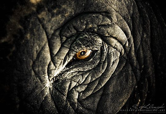 Elephant eyes. You can see the intelligence. Haunting.