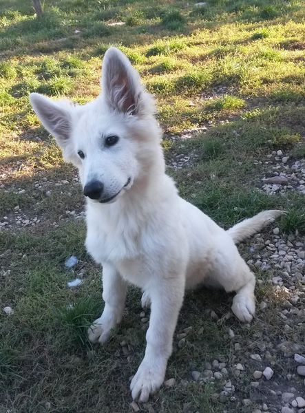 Chiot berger blanc suisse lof disponible de suite