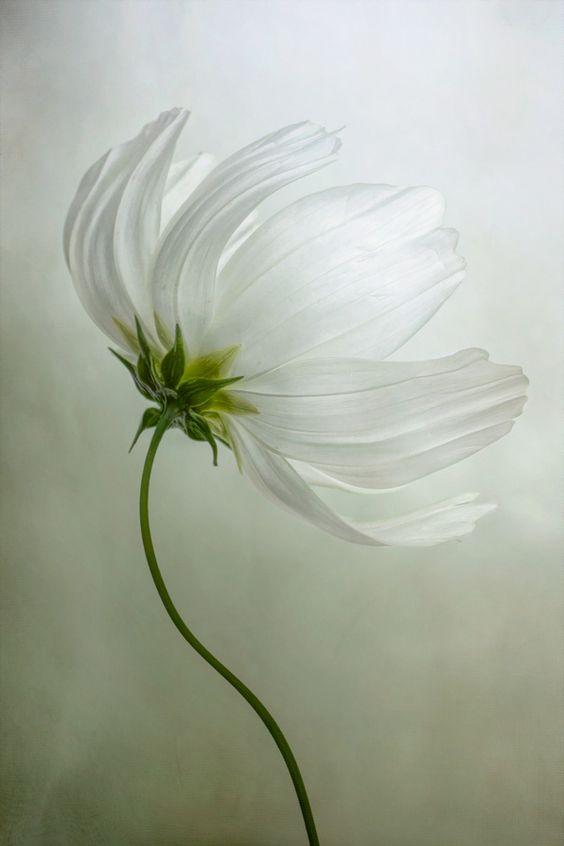 Beautiful White Cosmos Flower