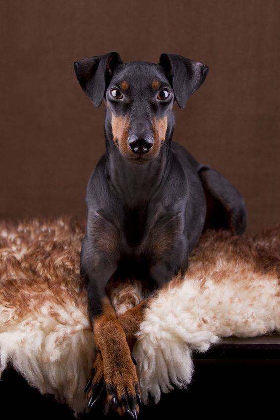 If You Re Looking For A Low Maintenance Dog Take A Look At Our List Of Small Dog Breeds With Short Hair Toy Manchester Terrier Manchester Terrier Small Dogs