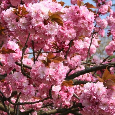 Kwansan Cherry Flowering Cherry Tree Pink Flowering Trees Cherry Tree