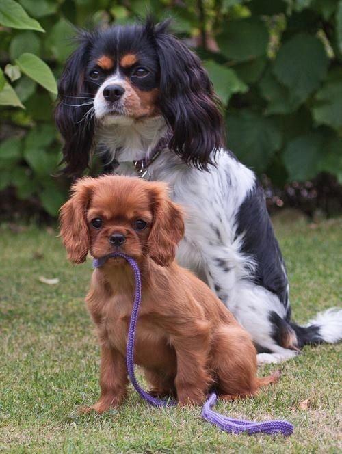 Ich Wunschte Ich Konnte Mich Meins Holen Um Noch Lange Genug Fur Ein Gutes Bil King Charles Cavalier Spaniel Puppy Cavalier King Charles Dog King Charles Dog