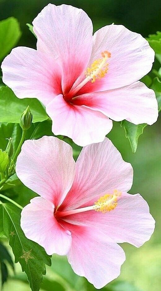 Pink Flower Wallpaper For Mobile Phone 480x854 Part 8 Pink Flowers Wallpaper Flower Wallpaper Beautiful Pink Flowers