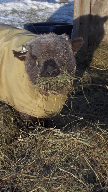 Cocoa-Olde English Babydoll Southdown sheep.  He came to us as a rescue with Snowball.