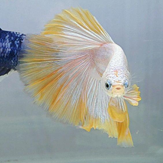 AquaBid.com -  HM YELLOW CREAM BANARBY
