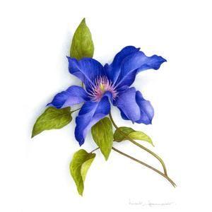 Clematite Bleue Dessin Botanique Illustrations De Fleurs