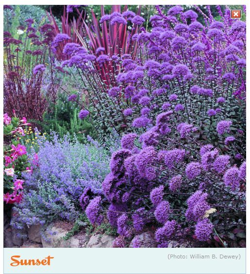 Dry-climate plants -- Trachelium caeruleum (violet-blue, front), Mexican bush sage, lavender-grey catmint, yarrow (Achillea 'Anthea'), & red flax