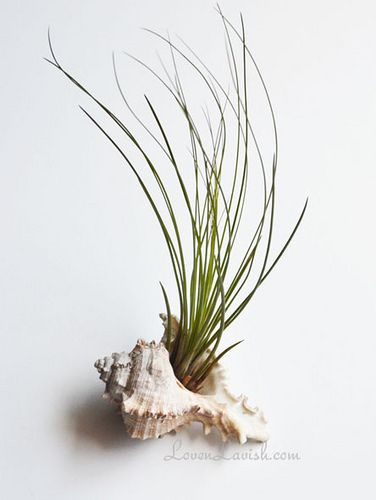 Air Plant in Shell Photograph