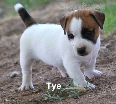 Find Your Dream Puppy Of The Right Dog Breed At Puppies Basenji Puppy Yorkshire Terrier Puppies