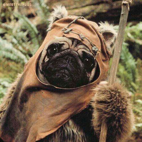 JJ Abrams has announced Pugwoks will be in the next Star Wars.  > Thank you to Meet the Pugs  >> www.jointhepugs.com <<  #PugPower #PugLife #VotePug #Puppy