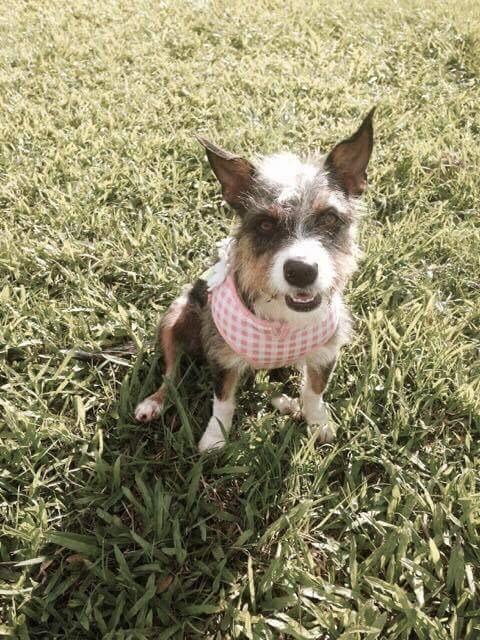 Adopt Gia On With Images Pet Adoption Schnauzer Mix Pets