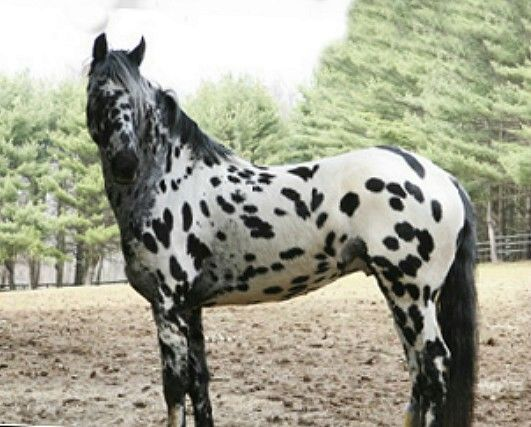 Legendary Design - Friesian / Appaloosa 2006 stallion, son of 17.1 hand Approved FPZV Friesian stallion Ljibbes Valour Legend is E/e LP/lp with no bay gene or other color modifiers. Very nice dressage type movement.