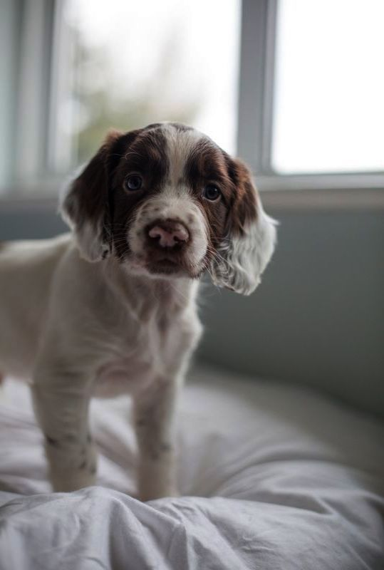 Neat Kittens For Sale Near Me Facebook Springer Spaniel Puppies Spaniel Puppies English Springer Spaniel Puppy