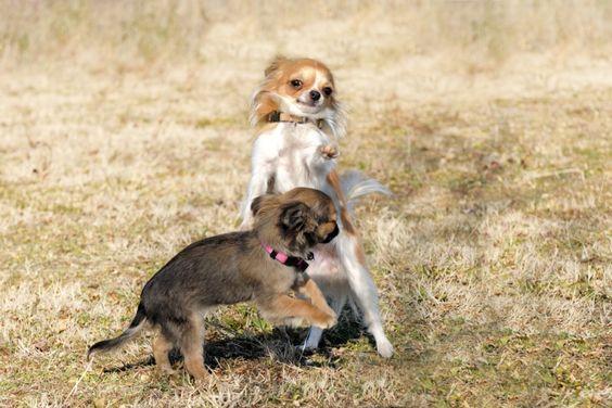 Hundeleben? Ganz und gar nicht! Zwei Chihuahuas beim Toben — Bild: Shutterstock / Cynoclub  www.einfachtierisch.de