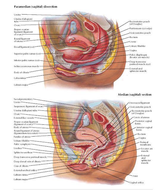 Pelvic Viscera And Perineum Female Anatomy