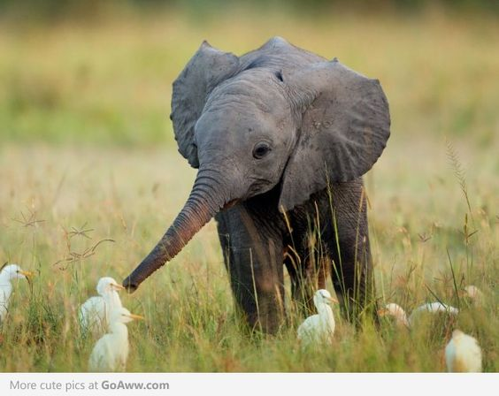 Baby elephant curious of the little birds