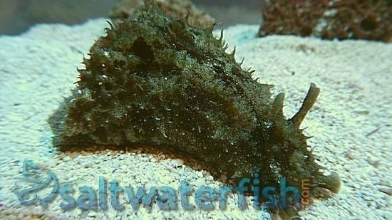 Dolabella Sea Hare With Images Soft Corals Saltwater Tank Marine Tank
